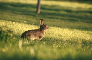 lapin-garenne-vaucluse