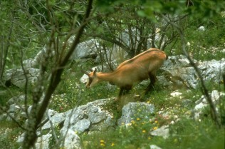 chamois-chasse-vaucluse